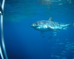 Great white, Guadalupe Island, September, 2005. Tetra Coo... by Kent Bonde 